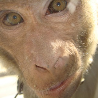 You haven't been to India if you haven't looked a monkey in the eye