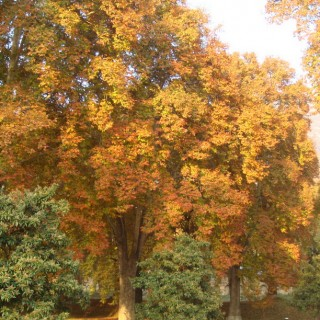 Chinar Tree