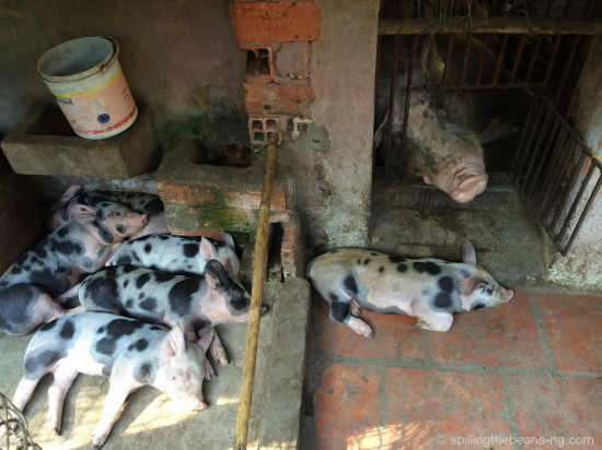 A family of napping pigs