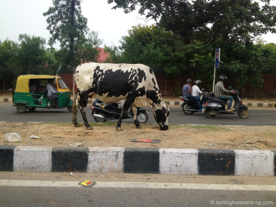 Auto-rickshaw, cow and scooters co-exist