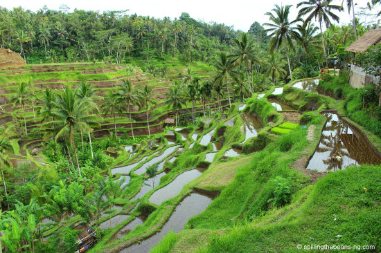 Earth - Tegallalang Rice Terraces in Ubud